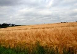 cornfield-1428045-m