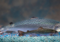 A genetically engineered AquAdvantage salmon, rear, and nonmodified sibling of the same age.